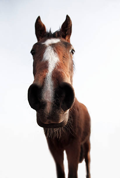 Royalty free animal mouth horse front view wide angle pictures animal mouth horse front view wide angle pictures images and stock photos sciox Choice Image