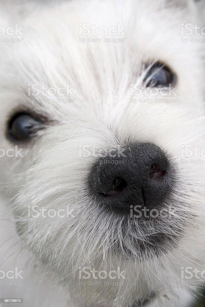 Nosy Puppy royalty-free stock photo