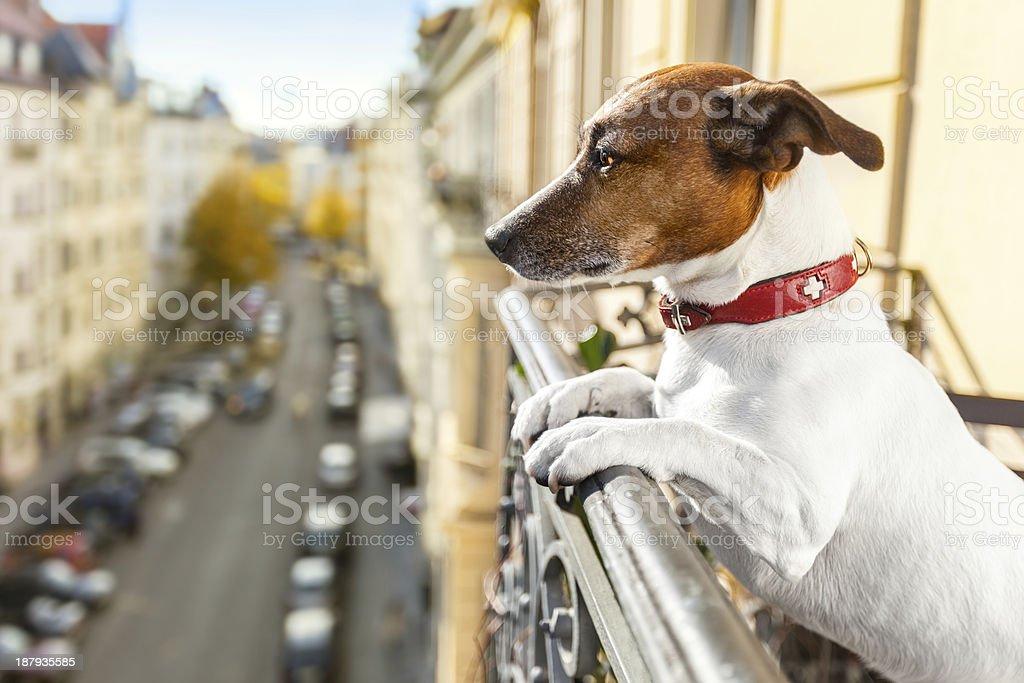 nosy watching dog royalty-free stock photo