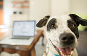 A dog looking at the camera in a living room with a laptop in use on the table in the background