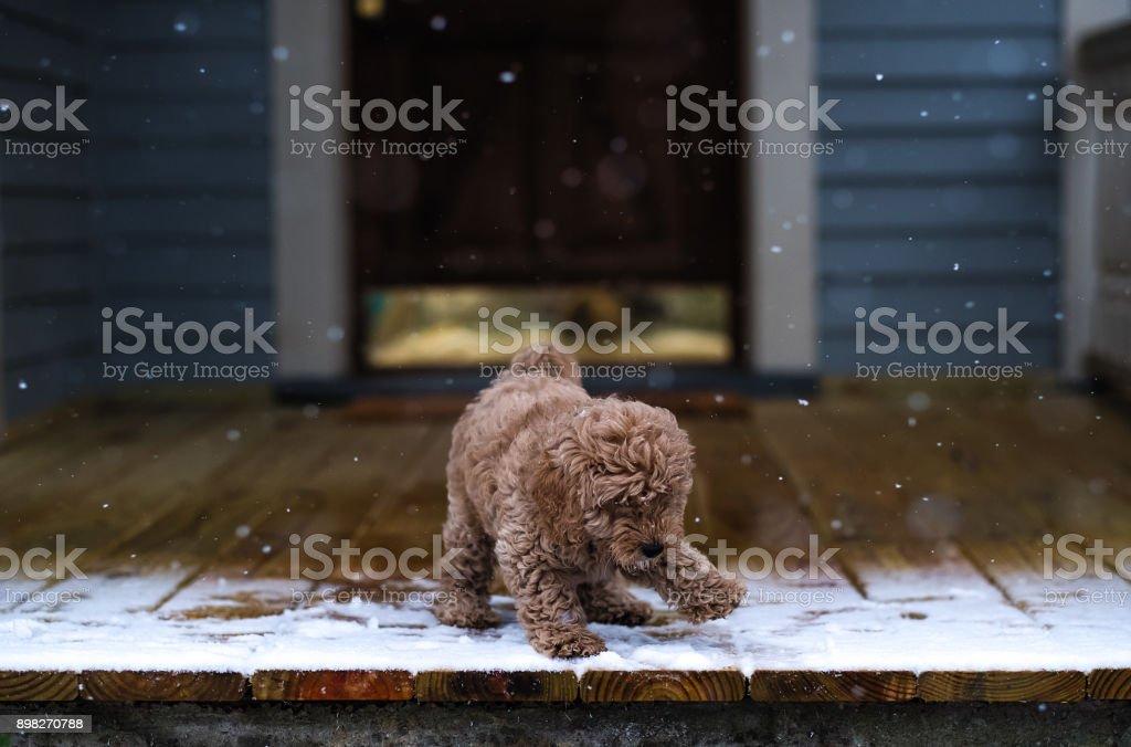 Not Quite Sure About This Stuff. #puppy #puppylove #winter #snow #blizzard #winterwonderland #holidays #xmas #xmaspresent #dogdayafternoon #learning #adventure stock photo