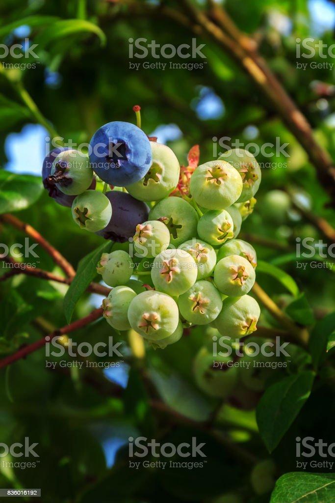 Not ripe blueberry on bush with raindrop stock photo