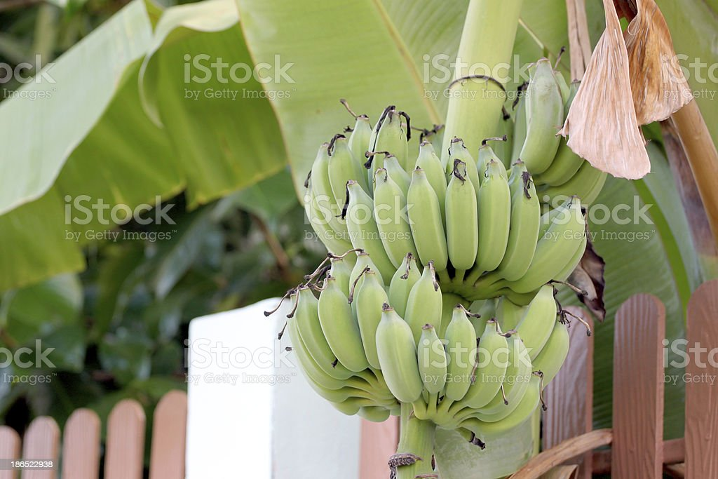 Not yet ripe banana royalty-free stock photo