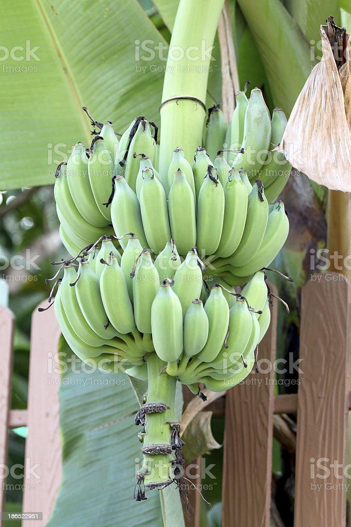 Not yet ripe banana royalty-free stock photo