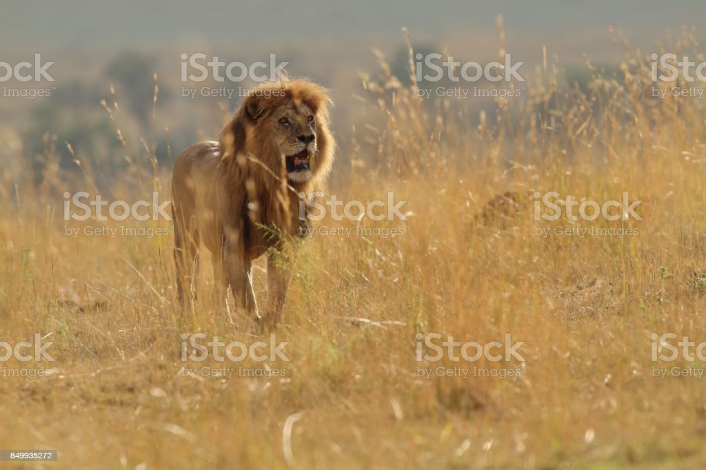 notch pride male lion in back lit sun stock photo