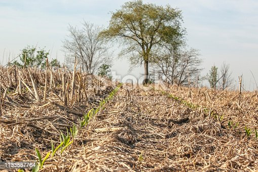 Corn planted without tillage emerging in a thick cover crop mulch with a row of trees in the background.