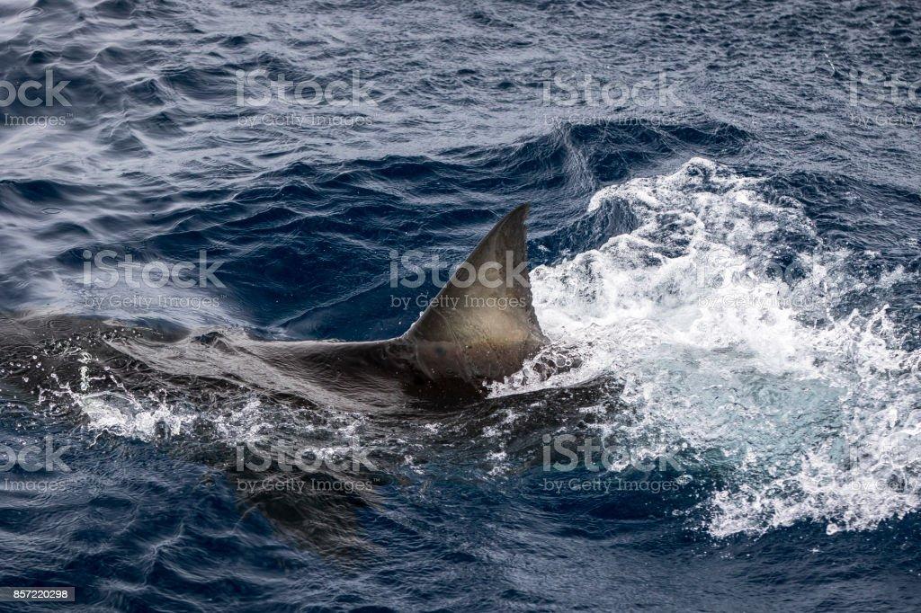 Notorious shark fin stock photo