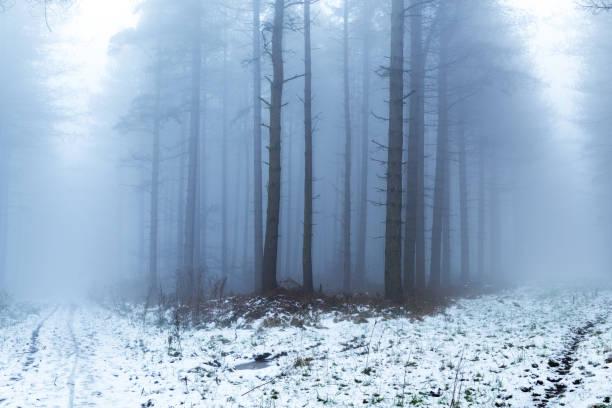 woodlands nottinghamshire en hiver - pinacée photos et images de collection
