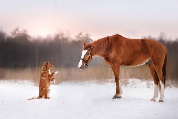 Nova scotia duck tolling retriever dog and horse picture id672589996?b=1&k=6&m=672589996&s=612x612&w=0&h=odu2esyzl qv8egytph96nw92jsf3bpfue7rhaddjmm=