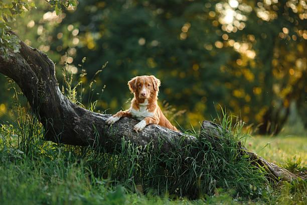 nova scotia duck tolling retriever dog in the woods - hund skog bildbanksfoton och bilder