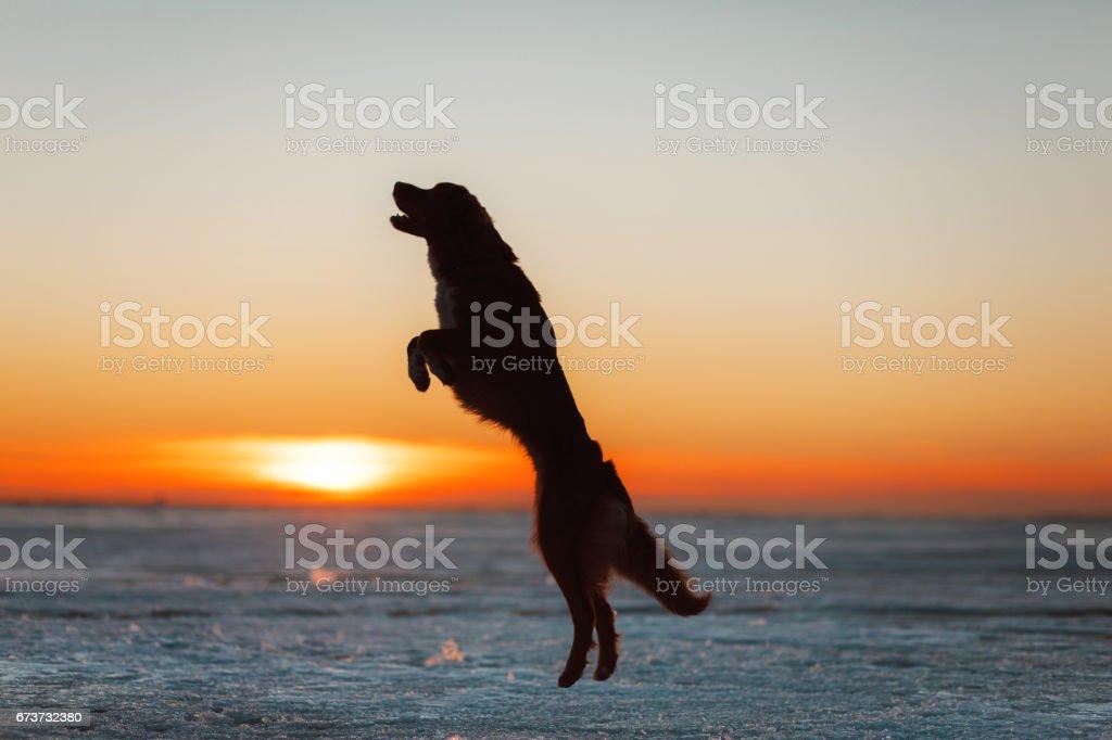 Nova Scotia Duck Tolling Retriever chien sur la glace photo libre de droits