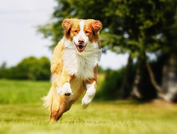 nova scotia anatra produzione su ordine cliente retriever cane - retriever foto e immagini stock