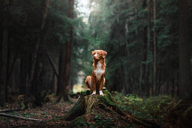 nova scotia duck tolling retriever dog sits in woods - hund skog bildbanksfoton och bilder