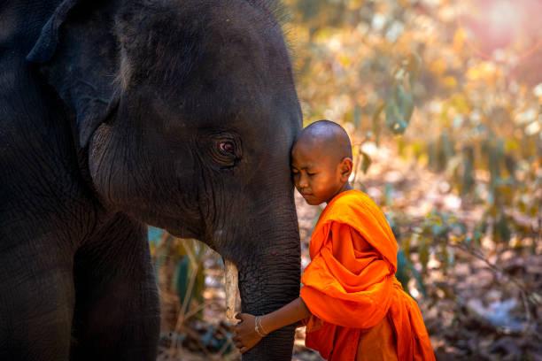 초보자나 승려가 코끼리를 껴안습니다. 초보 타이어 서 숲 배경큰 코끼리. , 타툼 지구, 수린, 태국. - 부처 불교 뉴스 사진 이미지
