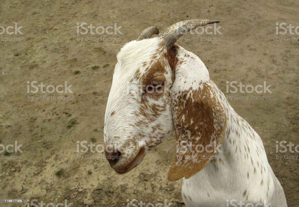 Nubian Goat stock photo