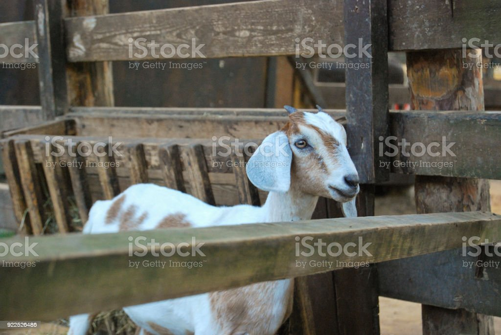 Nubian goat with hanging long ears stock photo