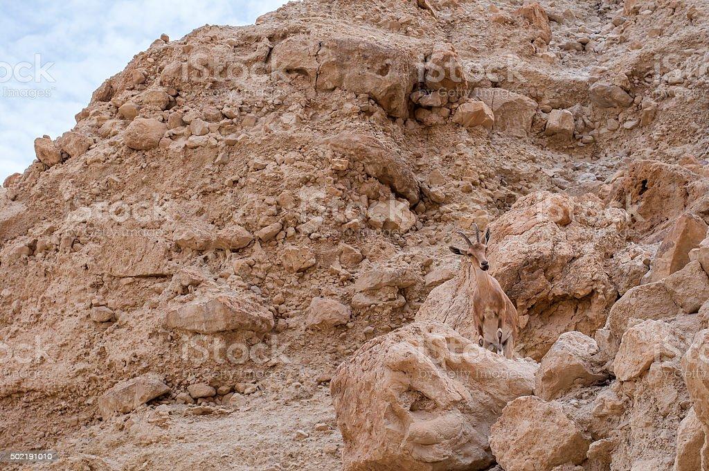 Nubian Ibex at Ein Gedi nature reserve stock photo