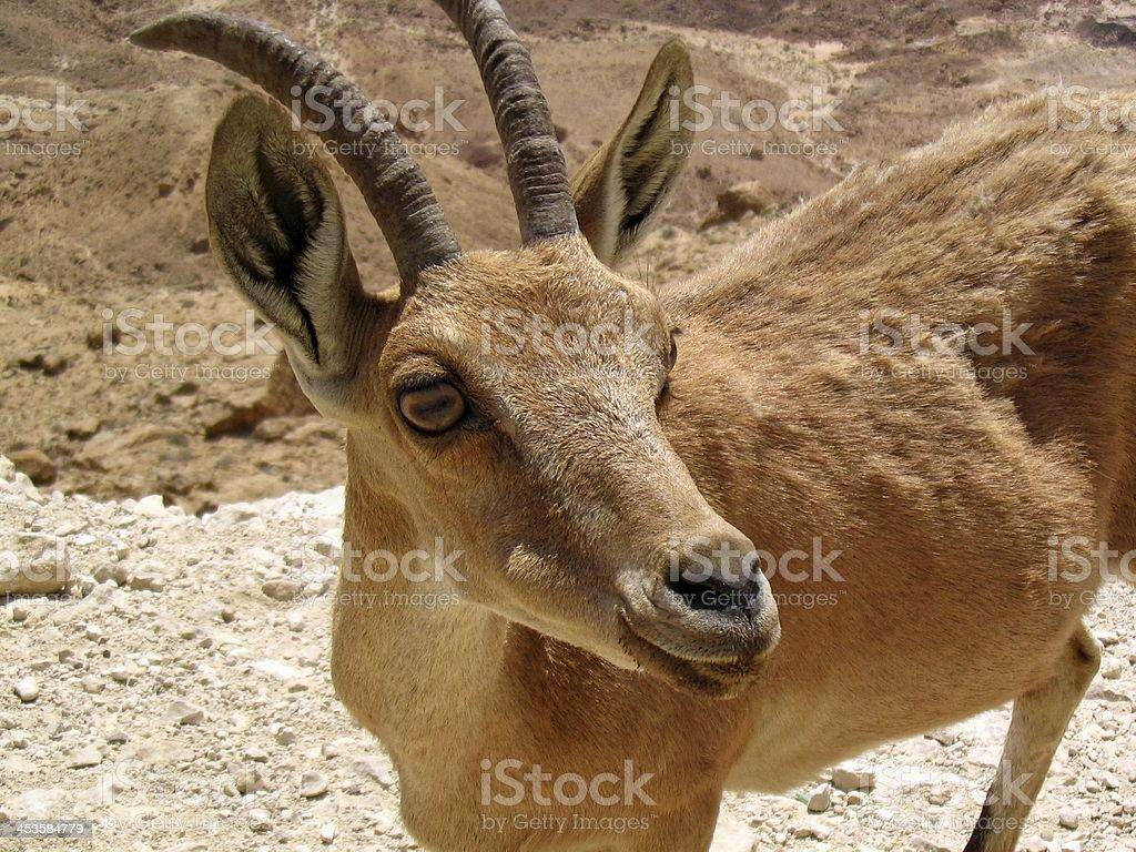 Nubian Ibex at Makhtesh Ramon (Crater) stock photo