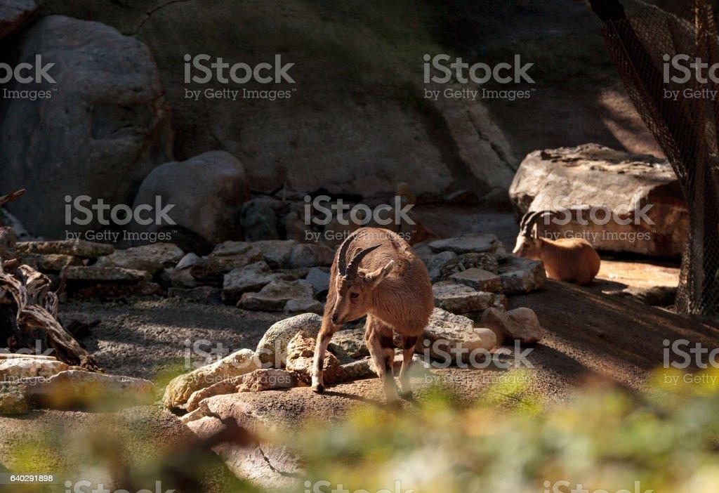 Nubian ibex, Capra nubiana stock photo