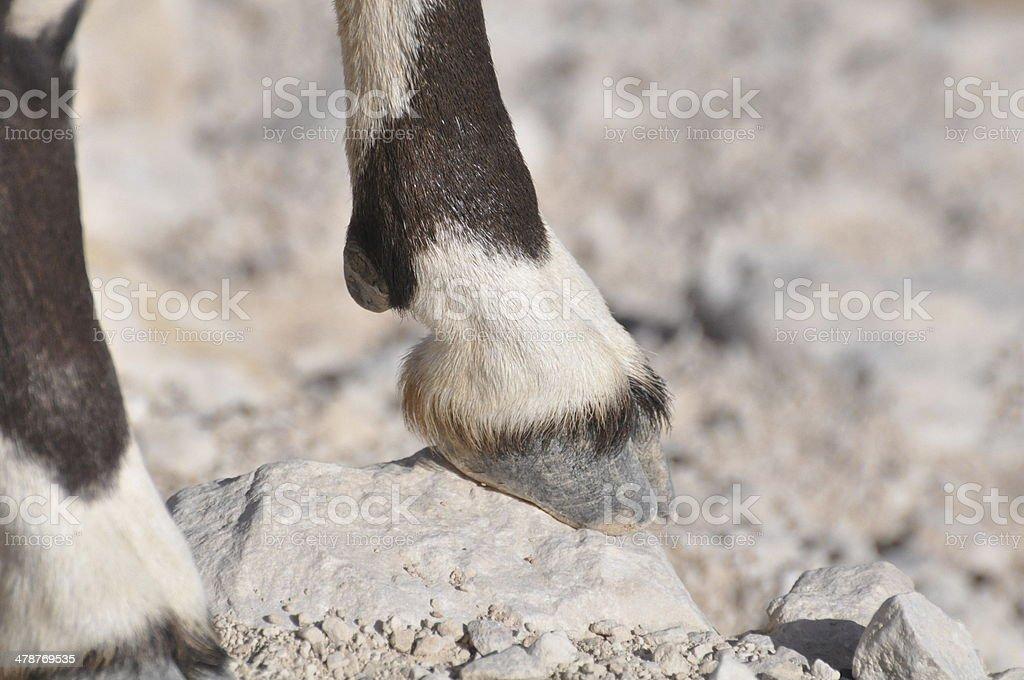 Nubian Ibex Feet (Male) stock photo