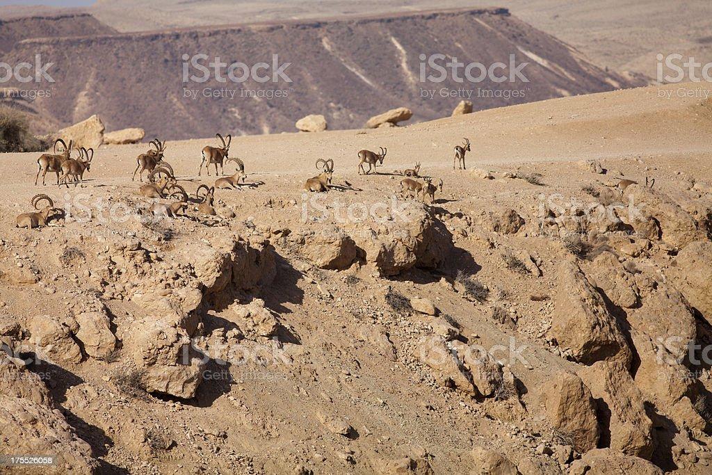 Nubian Ibex in the Negev desert stock photo