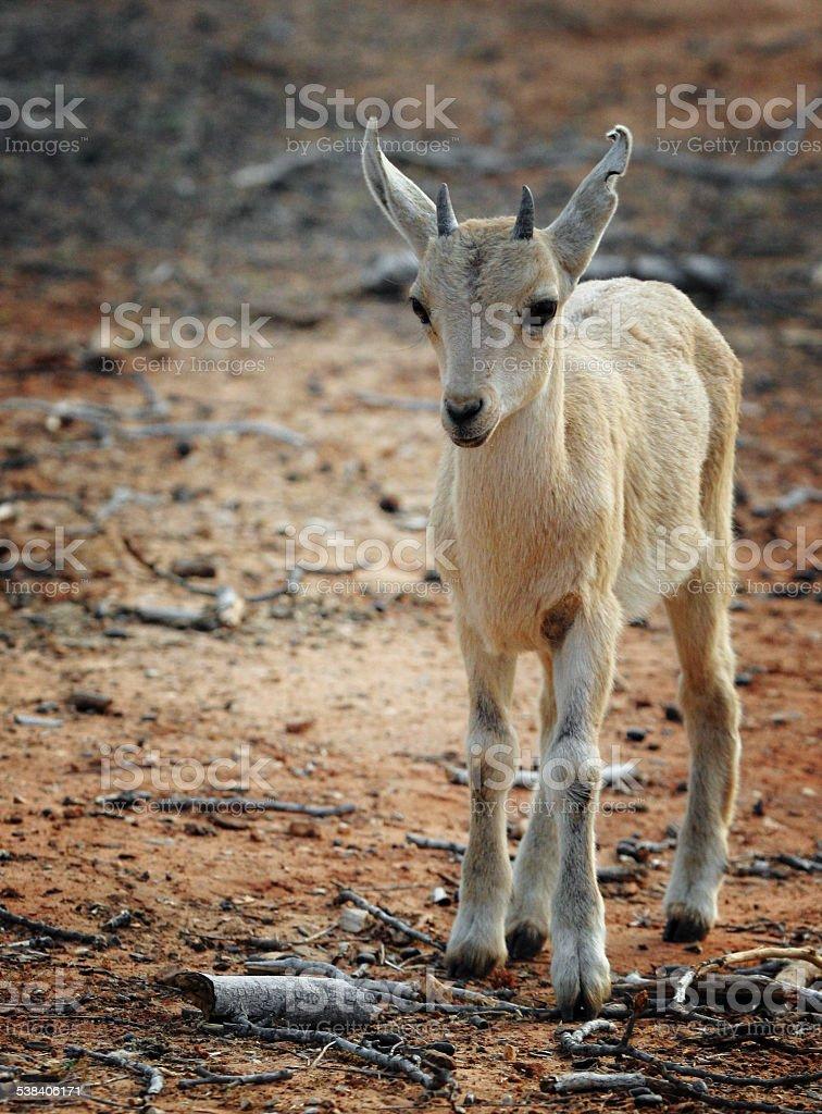 Nubian Ibex kid stock photo