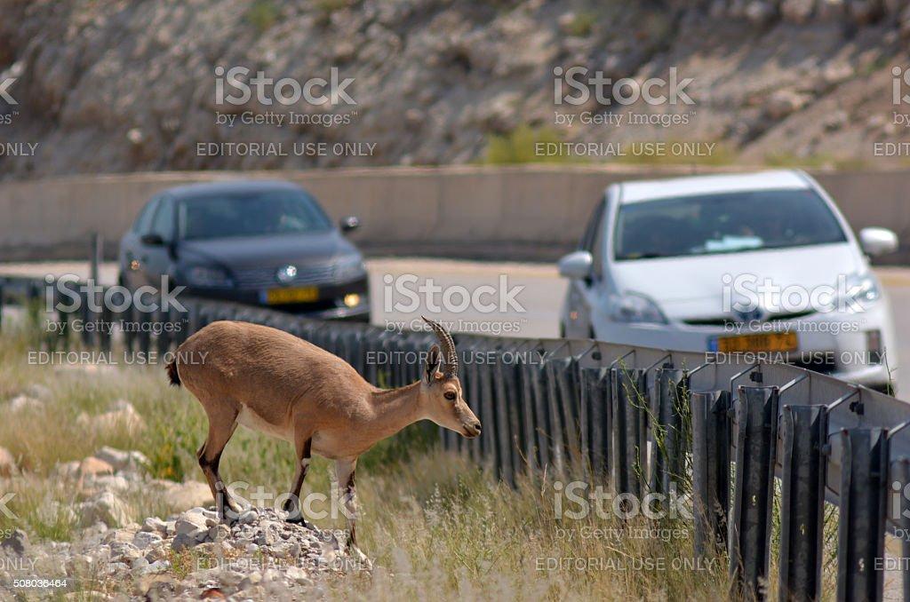Nubian Ibex Mountain goat stock photo