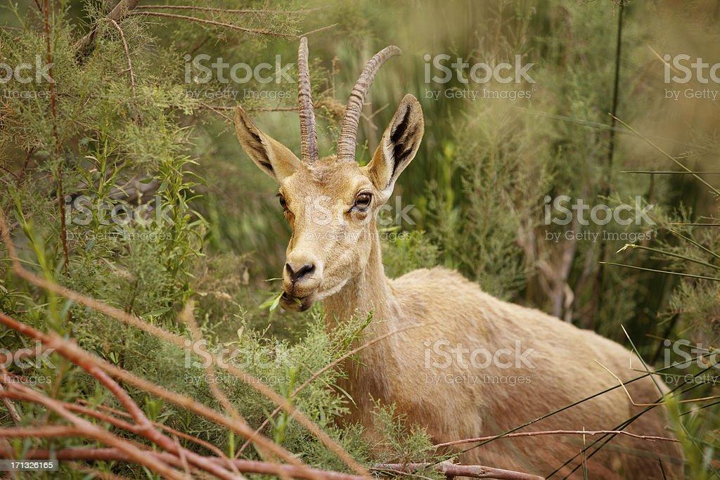 Nubian ibex stock photo