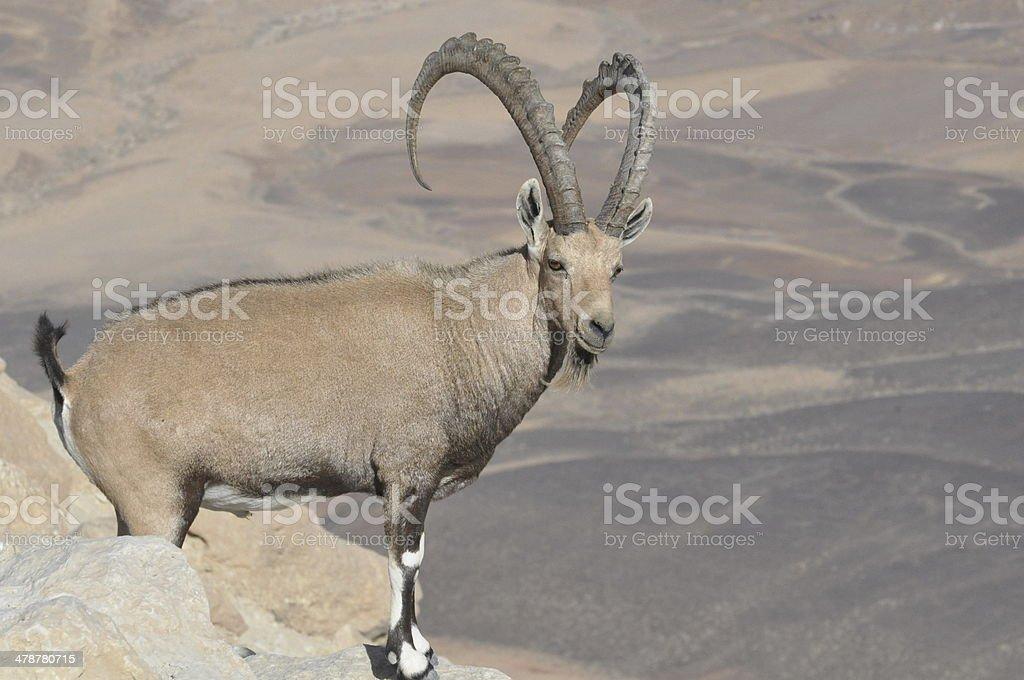 Nubian Ibex (Male) stock photo