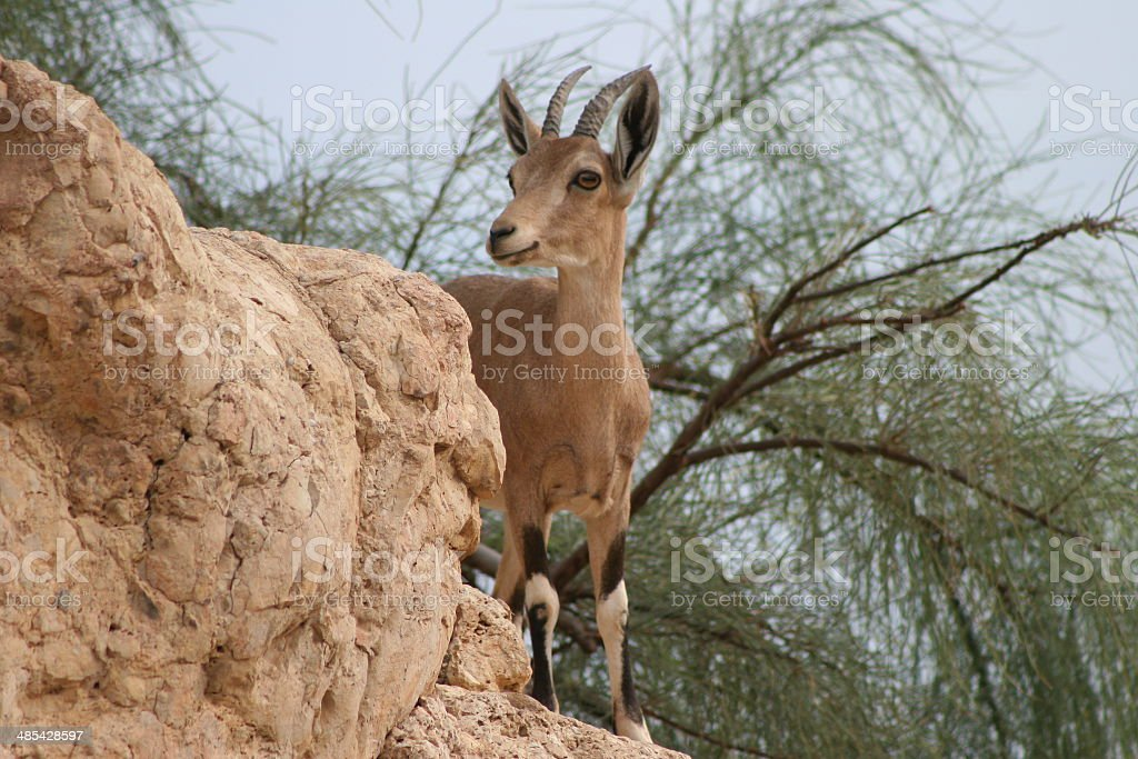Nubian Ibex (Female) stock photo