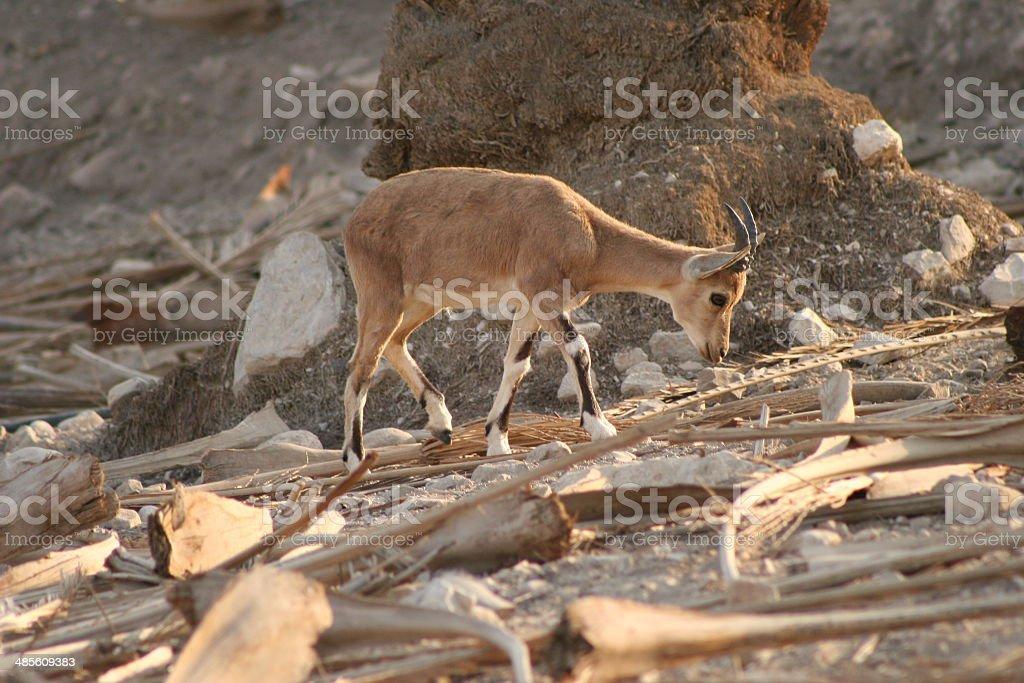 Nubian Ibex (Kid) stock photo