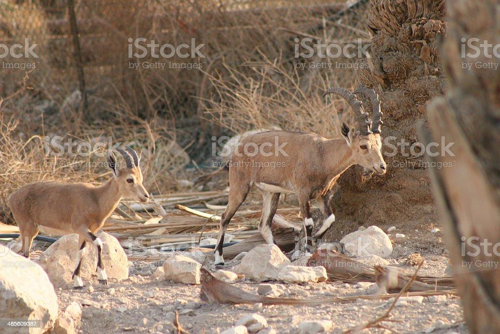 Nubian Ibex (Male & Kid) stock photo