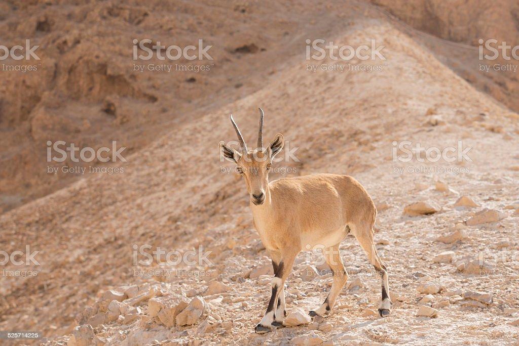 Nubian ibex. stock photo