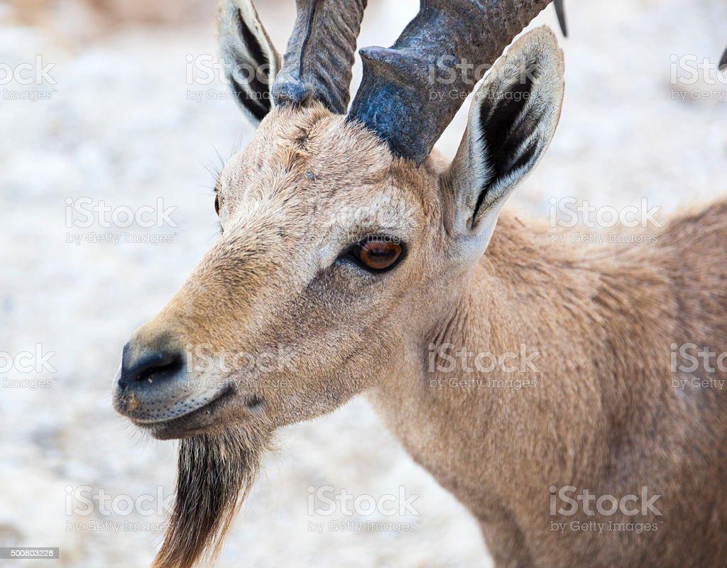 Nubian ibex (Capra Nubiana). Ramon Crater. Negev desert. Israel stock photo