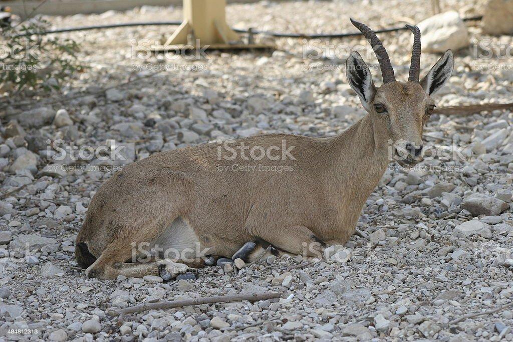 Nubian Ibex (Female) Resting stock photo