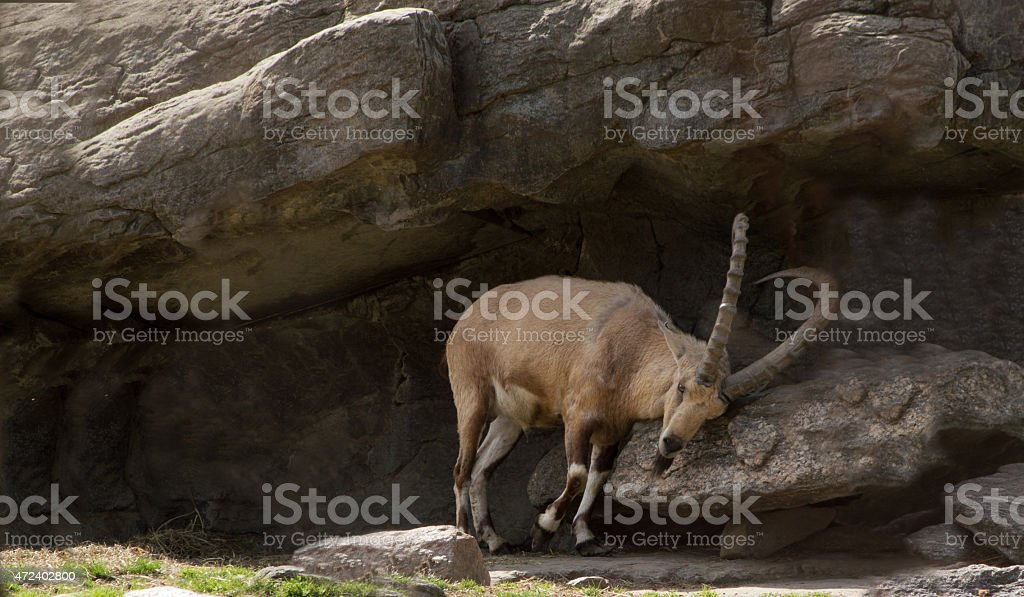 Nubian Ibex Scrapping Horns in a Rock Grotto stock photo