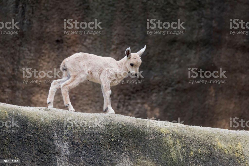 Nubian Ibex walking on a ridge stock photo