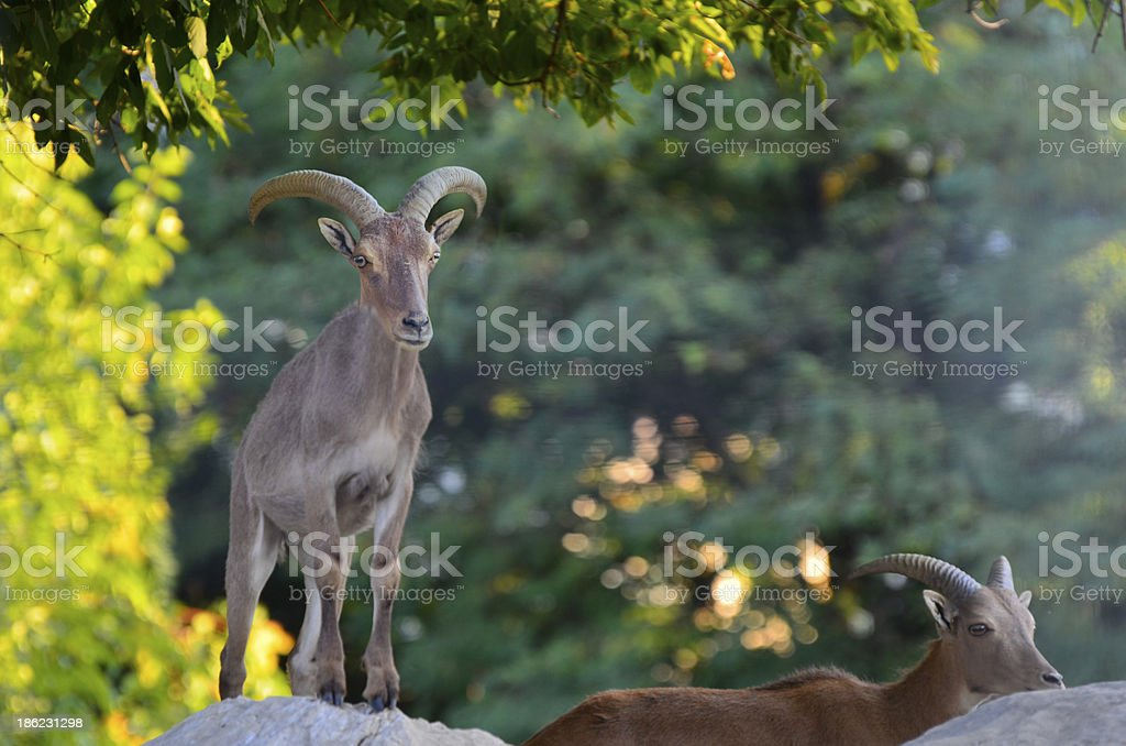 Nubian Ibexes Standing Side-By-Side on Top of a Hill stock photo