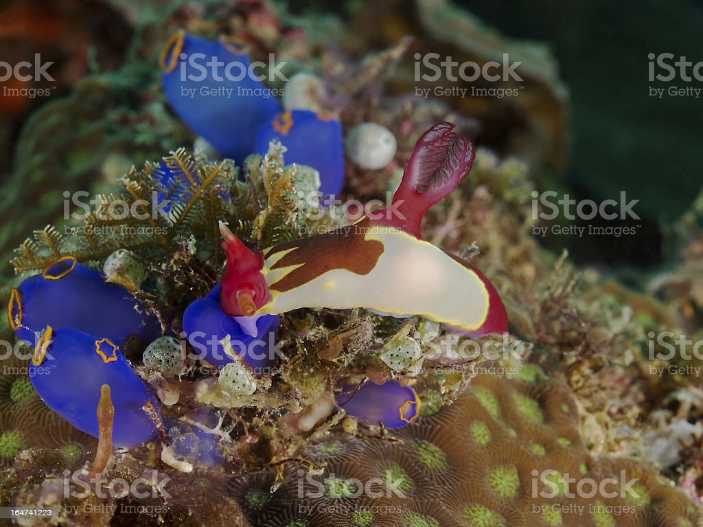 Nudibranch and Blue Sea Squirt stock photo