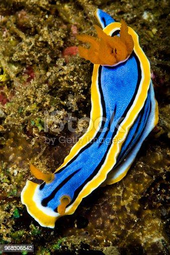 nudibranch chromodoris annae Bergh