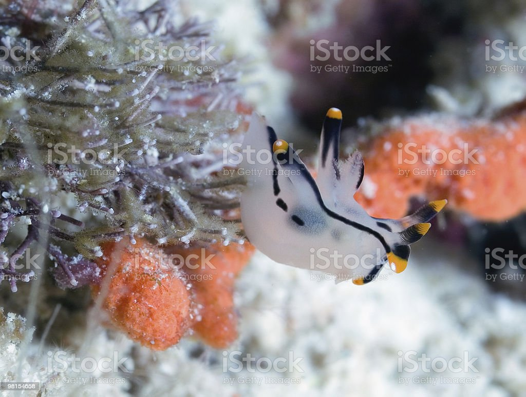 Nudibranch mollusc Seaslug royalty-free stock photo