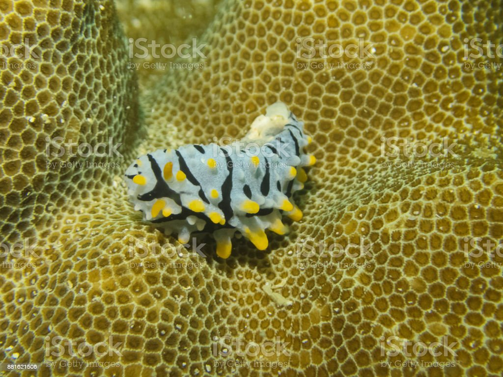 Nudibranch Phyllidia varicosa in underwater. stock photo