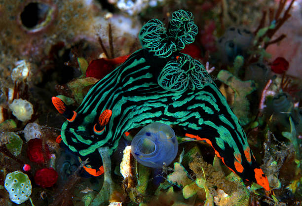 Nudibranch stock photo