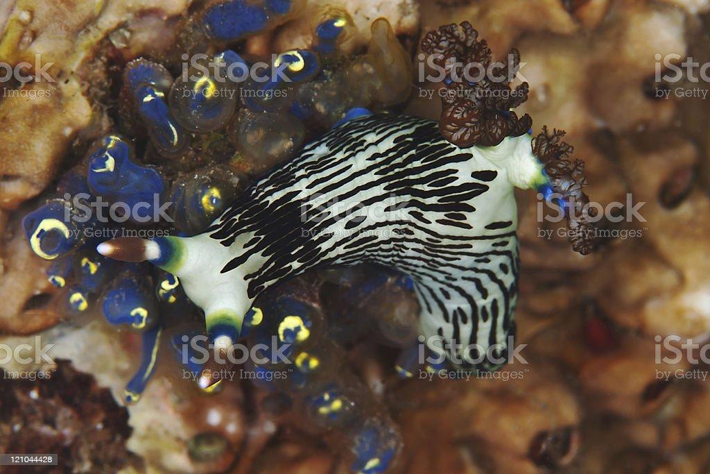 Nudibranch, sea slug (Nembrotha lineolata) stock photo