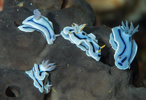 Nudibranches, Chrododoris Lochi , Chrododoris Willani,Chrododoris Dianae stock photo