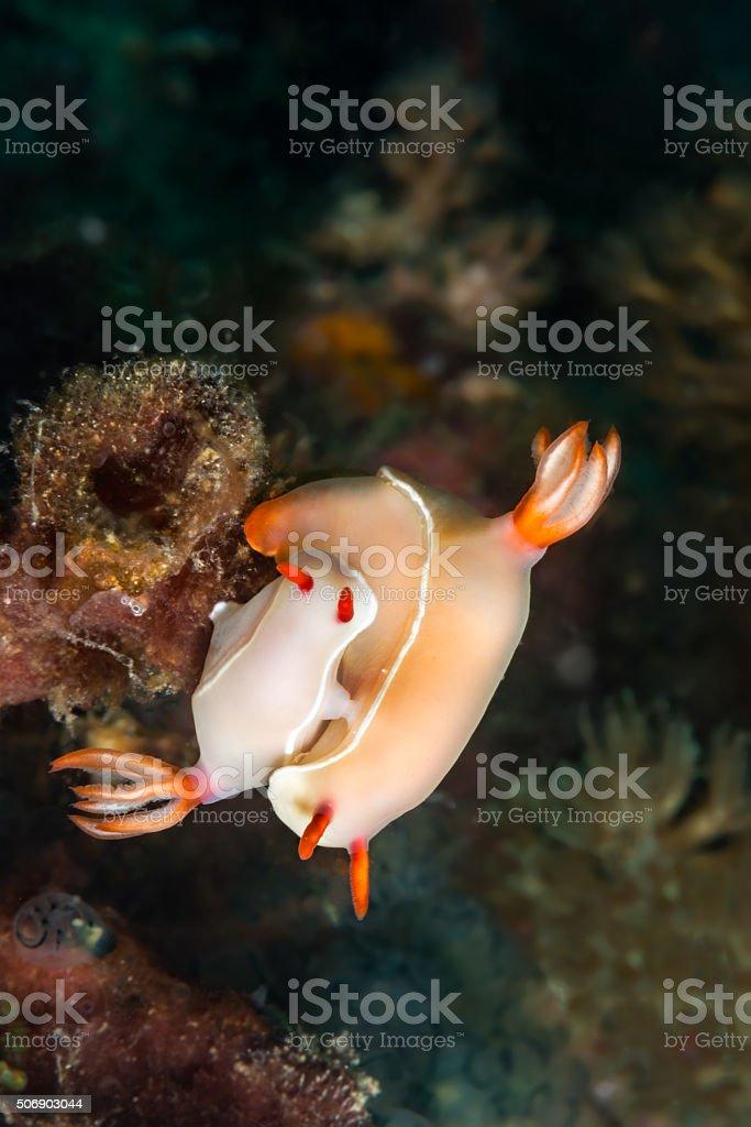 Nudibranchs mating stock photo