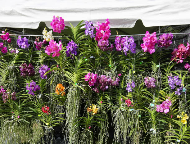 numerous blooming vanda orchids on display stock photo