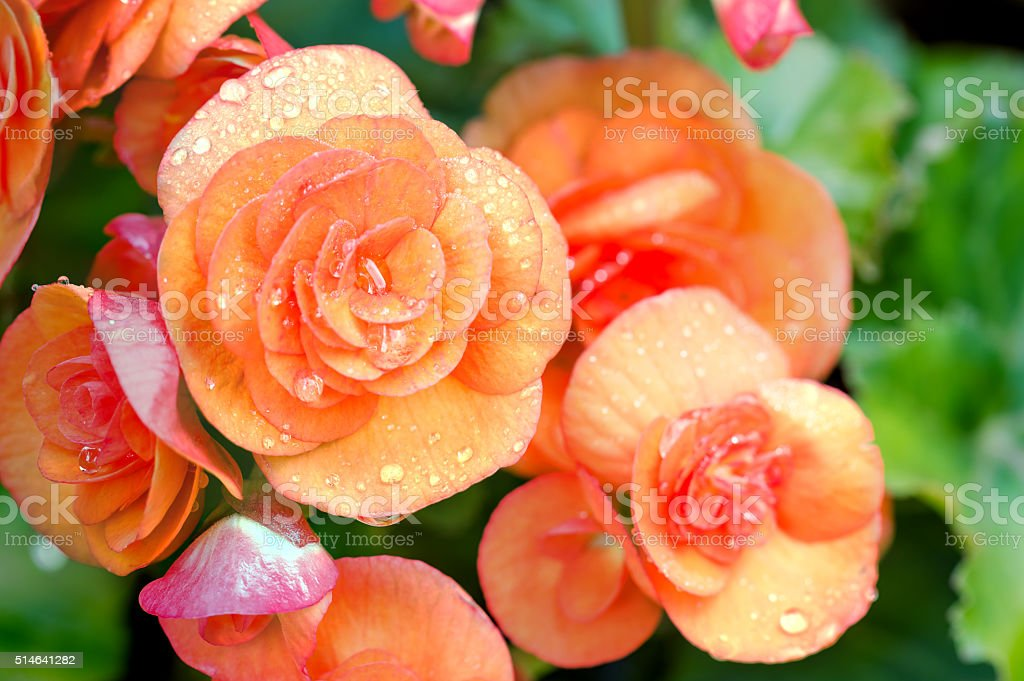 Numerous bright flowers of tuberous begonias (Begonia tuberhybri stock photo