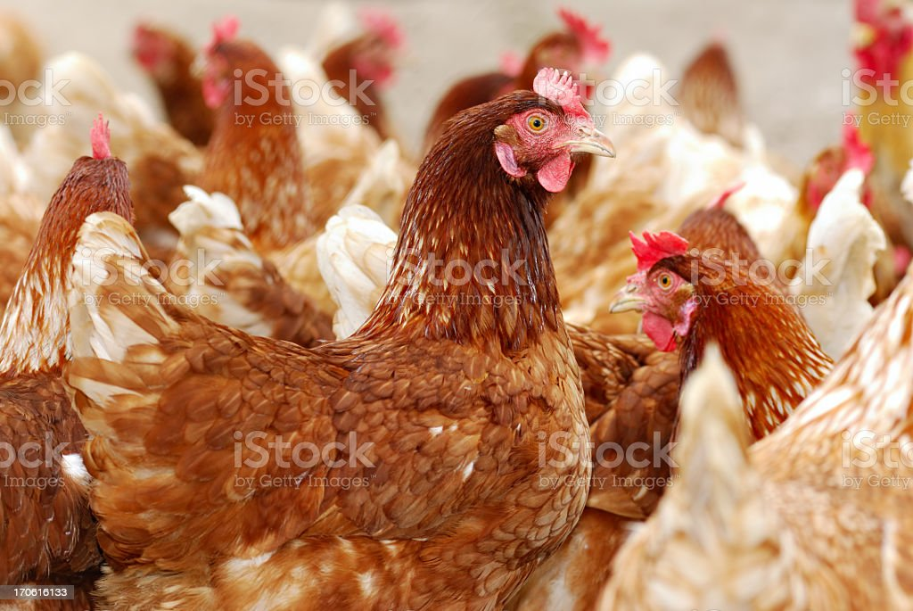 Numerous chickens out feeding in the chicken farm royalty-free stock photo
