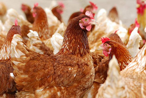Numerous chickens out feeding in the chicken farm stock photo